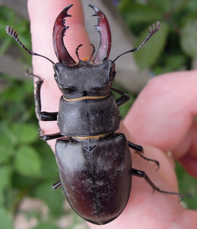 Greenwich 2013 Stag Beetle © The Land Trust