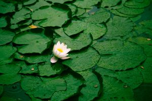 Pond Lillies &copy Elle Halley