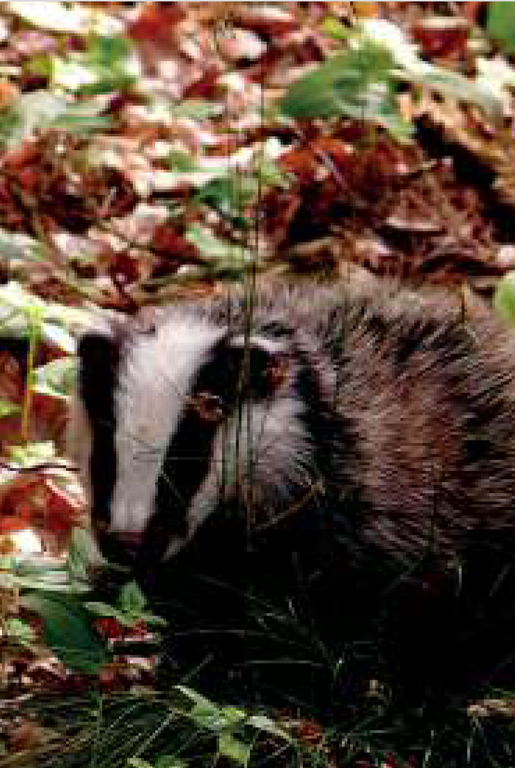 Badger © Wellesley Woodlands
