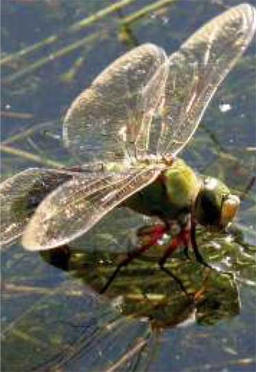 Dragonfly © Wellesley Woodlands