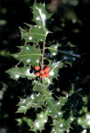 Holly © Wellesley Woodlands